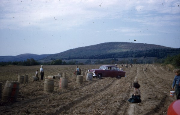 Lines of potato barrels, families and old cars in the fields were commons sights back in the middle of the 20th century.
