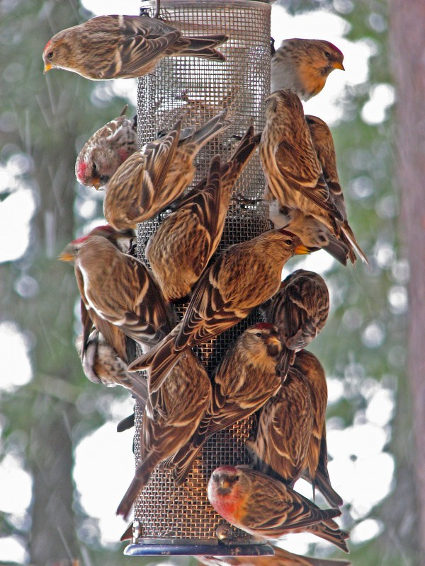 Common redpolls are eager eaters and can cost a homeowner a fortune in feed through the winter.
