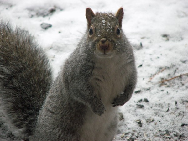 This gray varmint is one of many squirrels that have bedeviled Bob Duchesne by raiding his bird feeders.