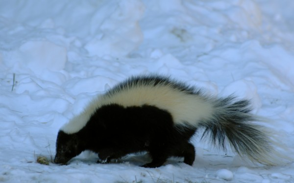 Perhaps confused by the unpredictably warm winter weather, a skunk takes a frosty morning foray in 2007. Contrary to popular belief, the omnivorous mammal doesn't hibernate, but is less active in the coldest months.