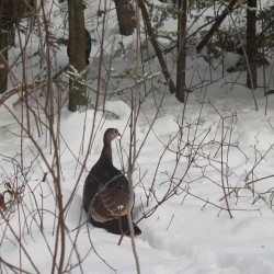 A Maine turkey tale and tidbits