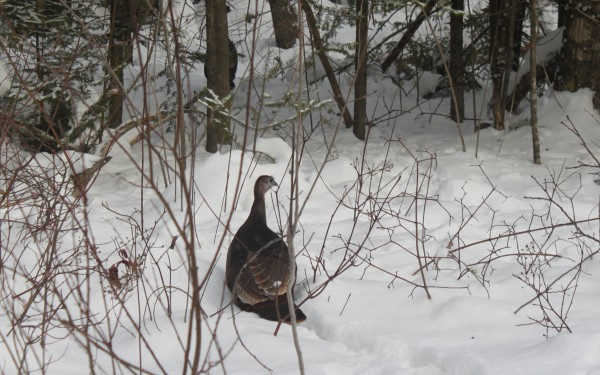 Two wild turkey walk through the snowy forest of Great Pond Mountain Wildlands in east Orland on Jan. 6, 2012.