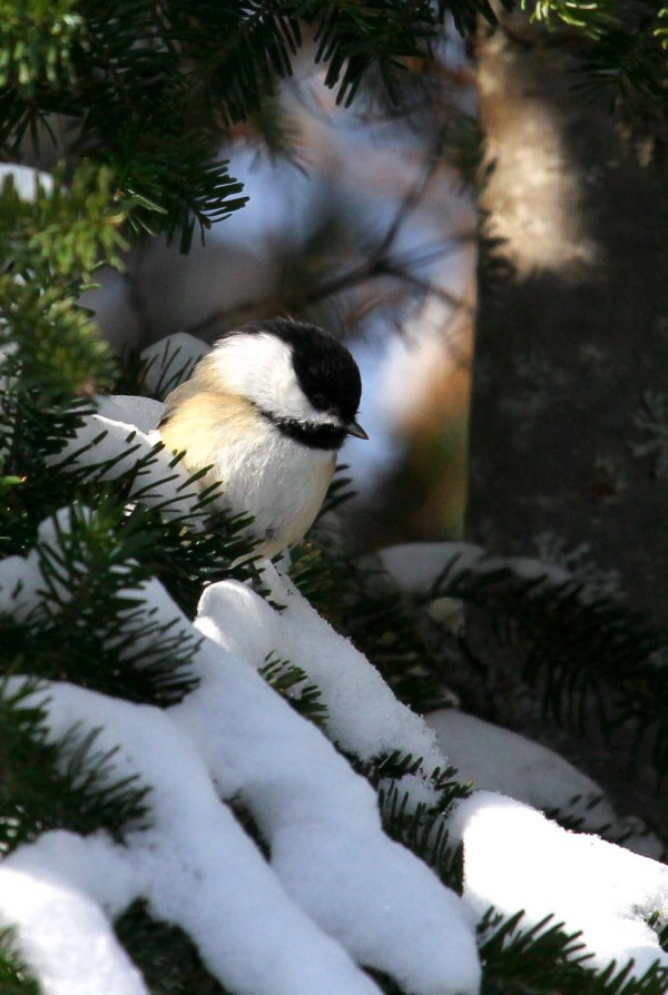 A black-capped chickadee.