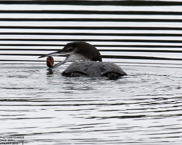 A loon munches on a crab in Belfast Bay recently.