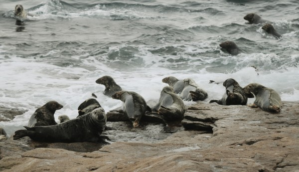 Gray seals congregate on the shore of Mount Desert Rock on Saturday, Jan. 12, 2013.