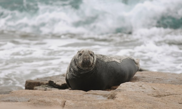 A curious gray seal watches people on the shore of Mount Desert Rock on Saturday, Jan. 12, 2013.