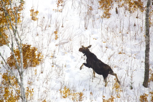 A moose stands in an open area of Maine's Wildlife Management District 19. Lee Kantar, a wildlife biologist for the Maine Department of Inland Fisheries and Wildlife, performed a moose survey by helicopter Tuesday morning, Jan. 29, 2013.
