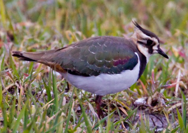 Northern lapwings are not normally found in the Northeast, but one recently touched down in Bridgewater, Mass., and became a star of the birding world.