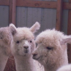 Alpacas are gentle, curious and well suited to life in northern Maine where conditions are similar to their native habitat in the mountains of Peru. These three reside at Spudland Alpacas in Blaine.