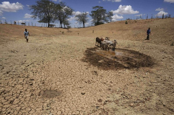 Cattle drink water from what is left of a nearly dry watering pond in Frei Paulo, in the northeastern state of Sergipe, January 11, 2013. Brazil's Northeast is suffering its worst drought in five decades, according to the agricultural minister of Bahia State, threatening hydro-power supplies in an area prone to blackouts and potentially slowing economic growth in one of the country's emerging agricultural frontiers. Lack of rain has hurt corn and cotton crops, left cattle and goats to starve to death in dry pastures and wiped some 30 percent off sugar cane production in the region responsible for 10 percent of Brazil's cane output.