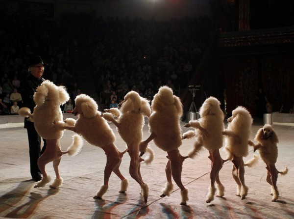 Poodles and their tamer perform during a show presenting the new program &quotFrom Heart to Heart&quot at the National circus in the Ukrainian capital Kiev on Jan. 24, 2013.