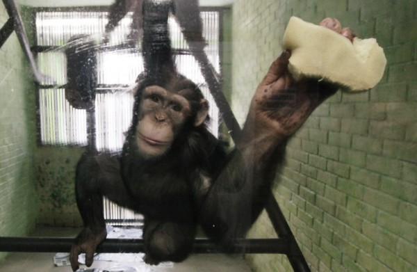 Anfisa, an 8-year-old female chimpanzee, washes a window of her enclosure where she lives with a male chimpanzee named Tikhon, at the Royev Ruchey Zoo in Krasnoyarsk, Siberia on Jan. 29, 2013.