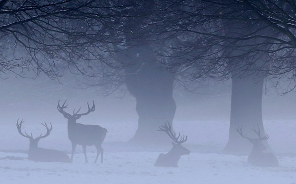Deer graze on Wollaton Park in Nottingham, central England on Jan. 14, 2013.