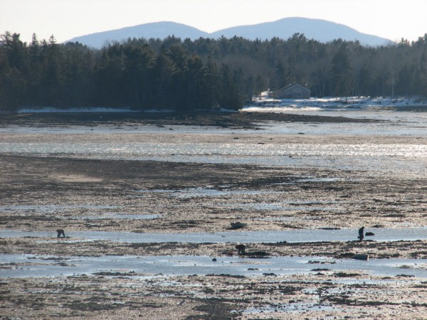 Three diggers, their bodies hunched over as they work, search for clams on Thursday, Jan. 10, 2013, in the tidal mudflat of Raccoon Cove in Lamoine.