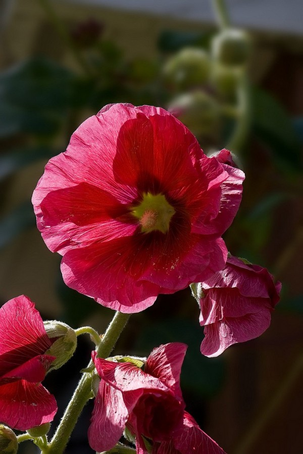 Hollyhocks photo by Mike Legend