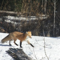 North American Red Fox playing in Bradley on Jan. 23, 2013.