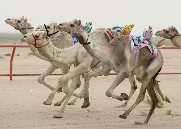 Camels ridden by robot jockeys compete during a weekly camel race at the Kuwait Camel Racing club in Kebd on Jan. 26, 2013. The robots are controlled by trainers, who follow in their vehicles around the track