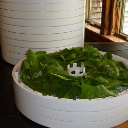 The Antakis use an electric Nesco/American Harvest Gardenmaster dehydrator to dry many foods, including spinach, shown here. Ana Antaki photo.