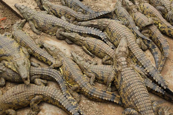 Recaptured crocodiles lie in pens after about 15,000 of the animals escaped from a crocodile farm during flooding near Mussina, on South Africa's northern border with Zimbabwe on Jan. 26, 2013.