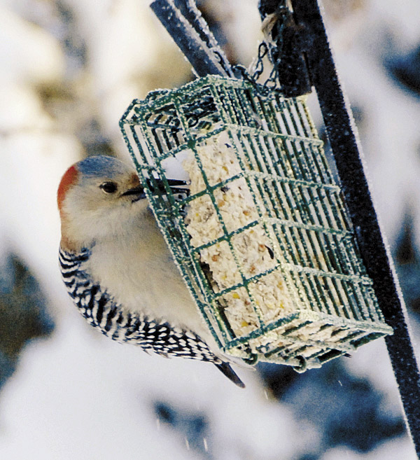 Her cap turned blue by a quirk of the natural light, the female red-bellied woodpecker starts pecking away at the highly nutritious suet.