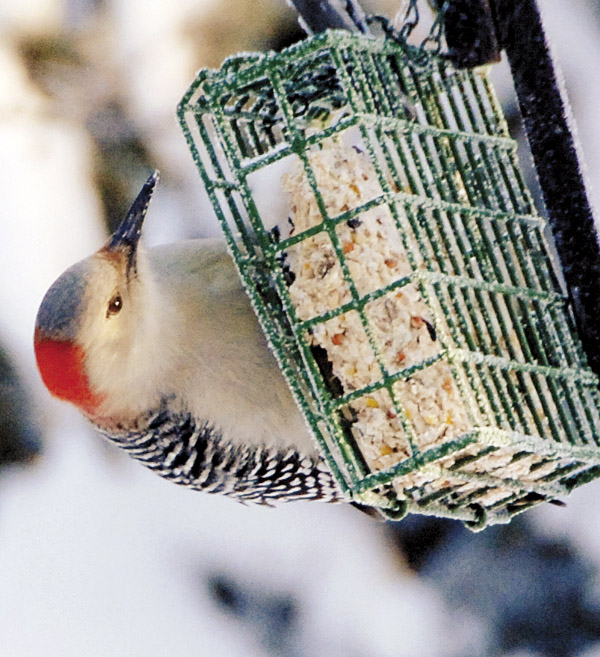 With a quick flit of her wings, the woodpecker lands on the suet cage and closely examines the high-fat food closed within it.