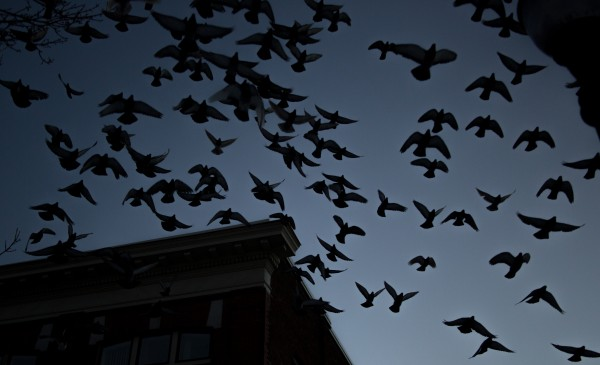 A flock of pigeons explode off the rooftop of the Kirsten Block building on Central Street in downtown Bangor on Saturday.