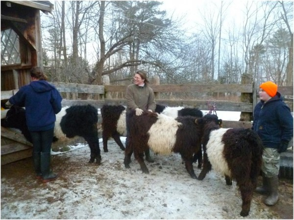 Aldermere Farm Program Manager Sarah Post assists RASA students Nina Davis and Theodore Hallet as they halter, lead, and groom the Belted Galloway calves.