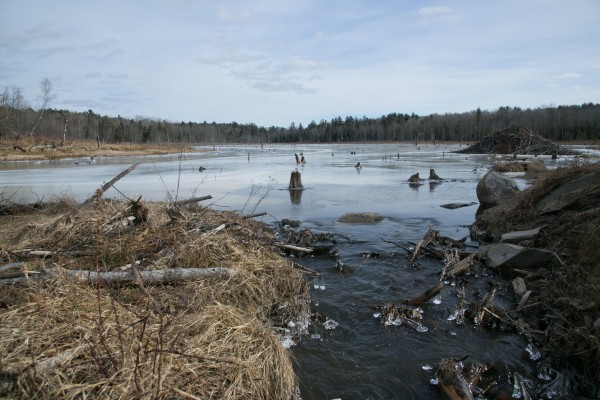 The remains of a beaver dam near Swetts Pond Road in Orrington. The dam broke in March, causing flooding along the road.