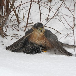 Adept hunters, sharp-shinned hawks prey on smaller birds