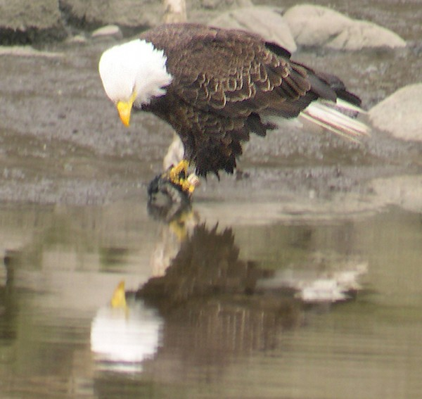 Bald eagle populations in Maine have rebounded and in 2007, the bald eagle was removed from Maine's endangered and threatened species list.