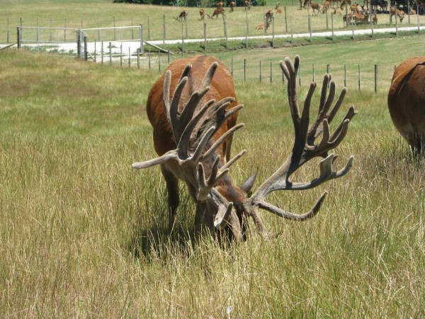 The rack of Odysseus, an 11-year-old red deer stag in New Zealand holds the Safari Club International world record score of more than 700 inches, which totals measurements of all parts of the antler — beam, tine, mass and width.