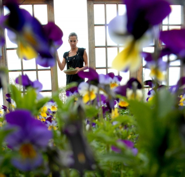 Primo chef Melissa Kelly picks fresh produce in the Rockland restaurant's greenhouse where Johnny-jump-ups and violas are in bloom in May 2006.