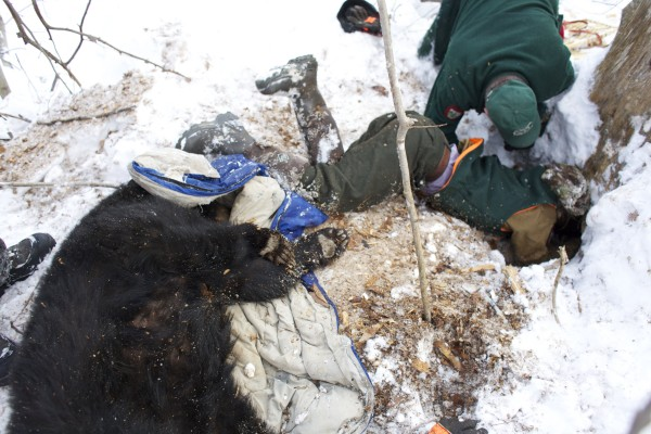 Department of Inland Fisheries and Wildlife crew pull Lugnut, a 158-pound black bear, from her den under an old spruce tree while studying wild bears near Ashland.