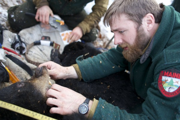 John &quotLobster&quot Wood of the Department of Inland Fisheries and Wildlife examines the mouth of the black bear mother Lugnut at her den near Ashland.