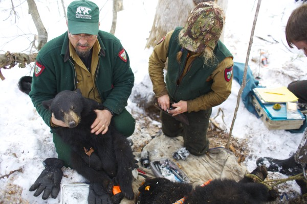 Randy Cross (left), a wildlife biologist with the Department of Inland Fisheries and Wildlife, holds up a yearling cub of the mother black bear Lugnut during their bear study near Ashland, Maine.