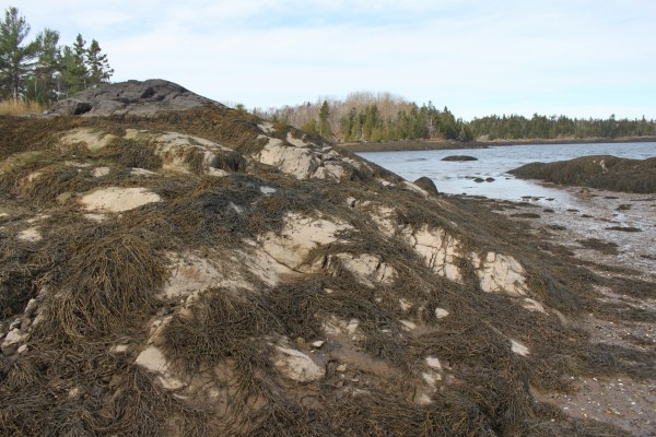 View of a ledge at low tide after rockweed was cut by vacuum machine in Cobscook Bay, near Moosehorn National Wildlife Refuge, in August 2012.