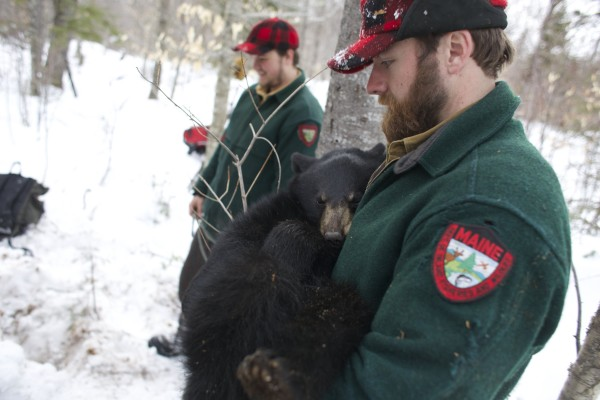 John Wood, a member of the bear crew with the Department of Inland Fisheries and Wildlife, holds up a yearling cub of Lugnut during a bear study near Ashland, Maine.