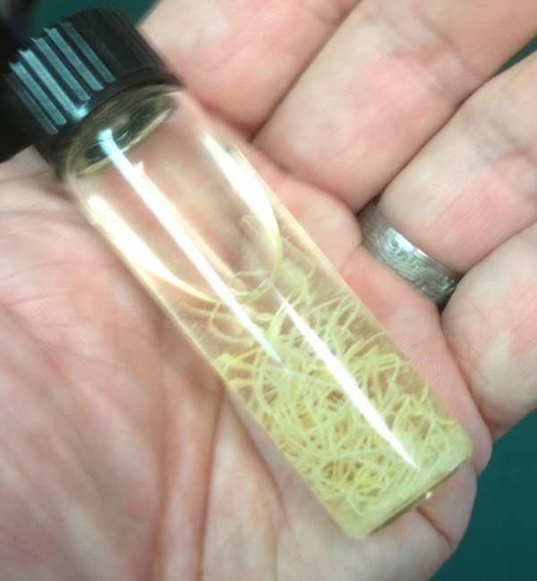 A vial containing lungworms that were found in a Maine moose, as seen in September 2012.