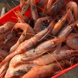 New England shrimp target cut in half