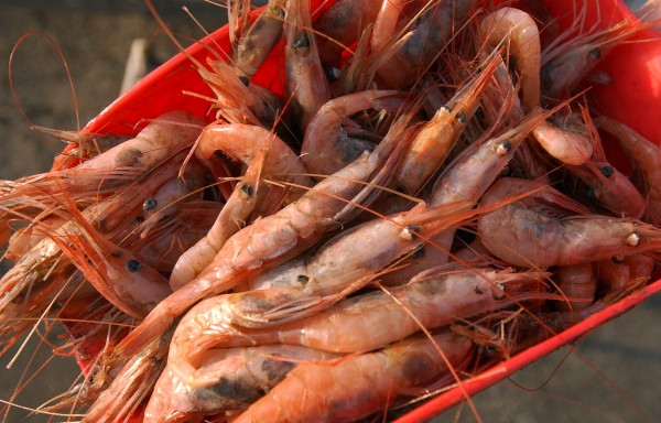 Raw Maine shrimp.