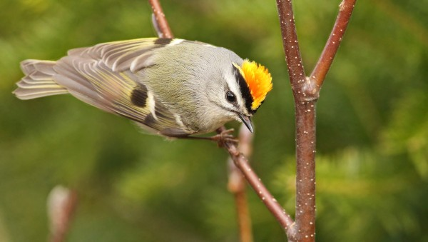 Golden-crowned kinglets are hardy birds, despite their diminutive size.