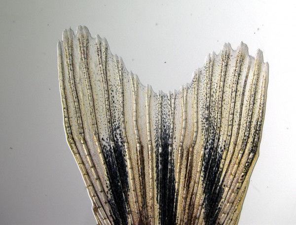 A zebrafish tail fin regenerates 14 days after being cut.