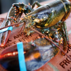 Are pesticides used in aquaculture pens threatening the long-term health of lobster?