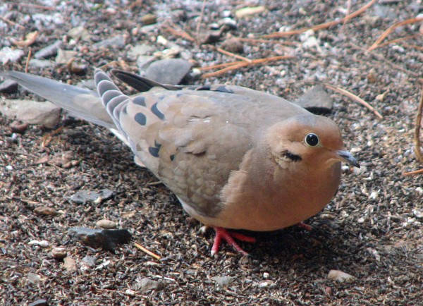 Mourning doves are common visitors to Maine feeders, but are commonly regarded as game birds in the rest of the U.S. In all, 42 states allow hunting of mourning doves. Maine is not among them.