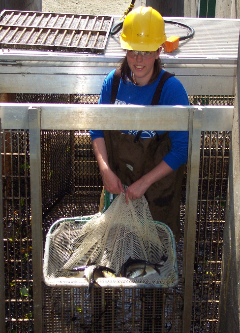 Fisheries technician Leah McConkey counts the alewife run at the Milltown fishway on the St. Croix River in July 2010.