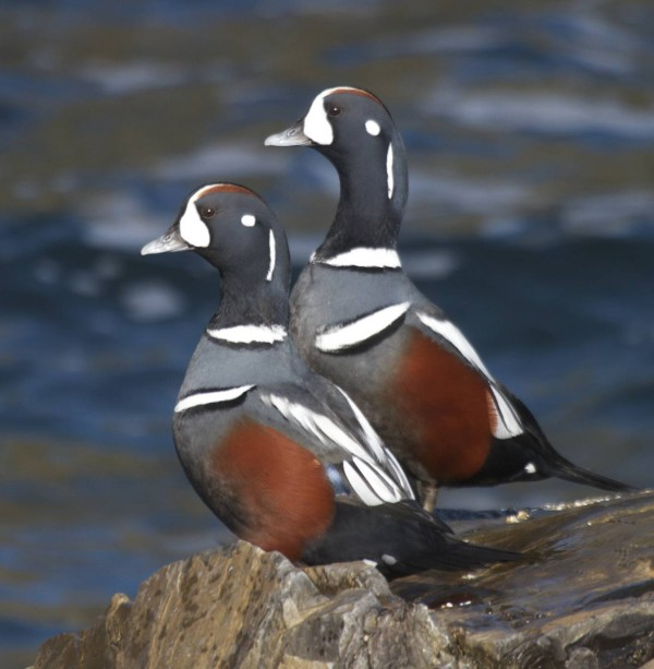 Harlequin ducks are striking birds who get their names from the colorful costumes worn by European actors hundreds of years ago.