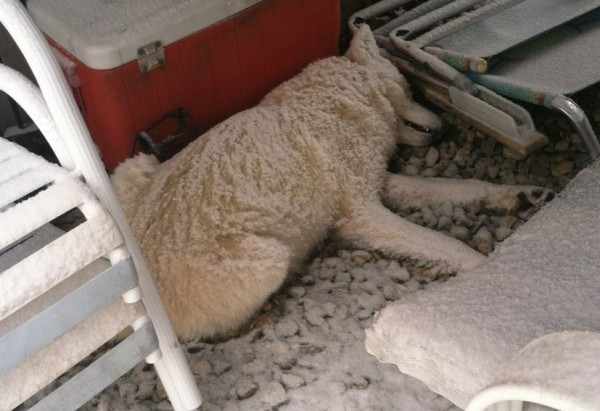 This image depicts a white dog-like animal that died under a Kennebunk resident's porch this week. The resident first believed the animal was a wolf, but police later said it was a coyote. A wildlife expert remains unconvinced it's not a dog.