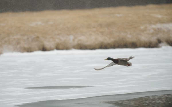 Light snow falls as a male Mallard duck takes flight from a pond along Essex Street in Bangor on Tuesday.