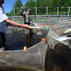 Shenanigans on St. Croix : Alewives get smoked again