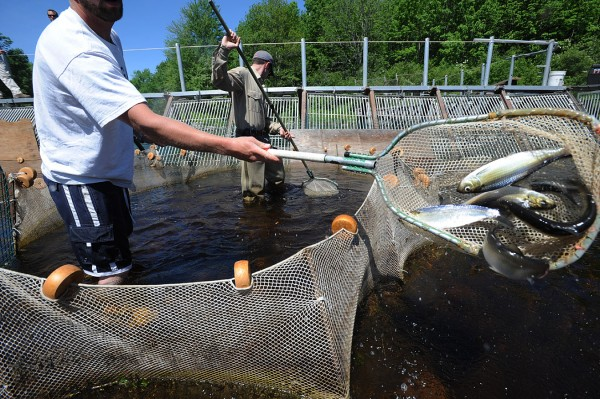 Kyle Winslow (left) and fisheries biologist Colby Bruchs use nets to dip alewives and blue-backed herring out of the trap at the Dennysville fish weir in June 2008.